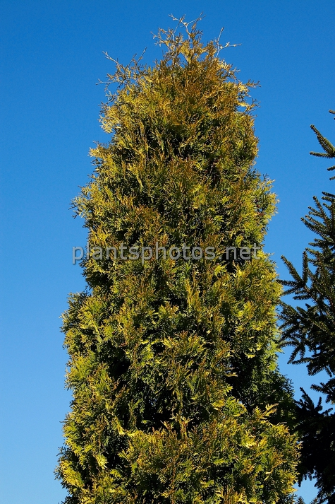 Thuja occidentalis Yellow Ribbon IMG_3830 &polska
