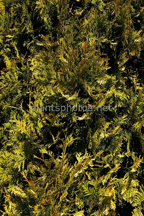 Thuja occidentalis Yellow Ribbon IMG_3831 &polska