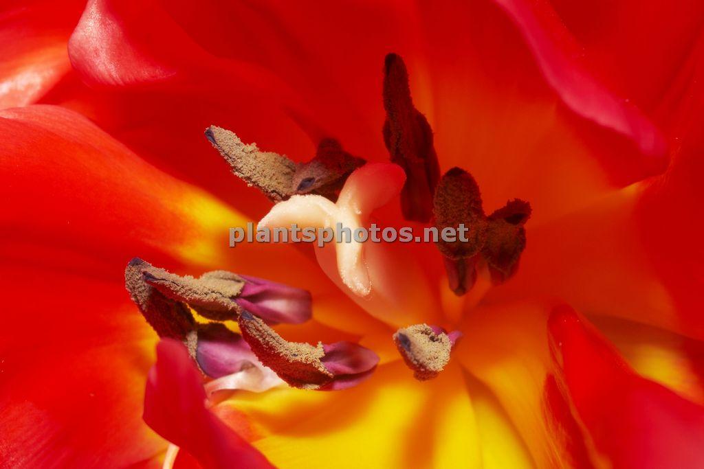 Tulipa-1, Tulipan,