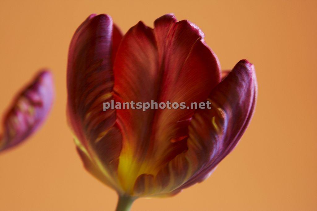 Tulipa-4, Tulipan,