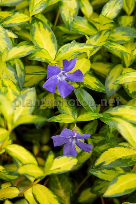 Vinca minor Illumination IMG_3724, Barwinek pospolity, *