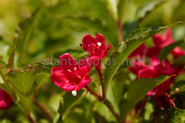 Weigela Red Prince IMG_4554 &polska