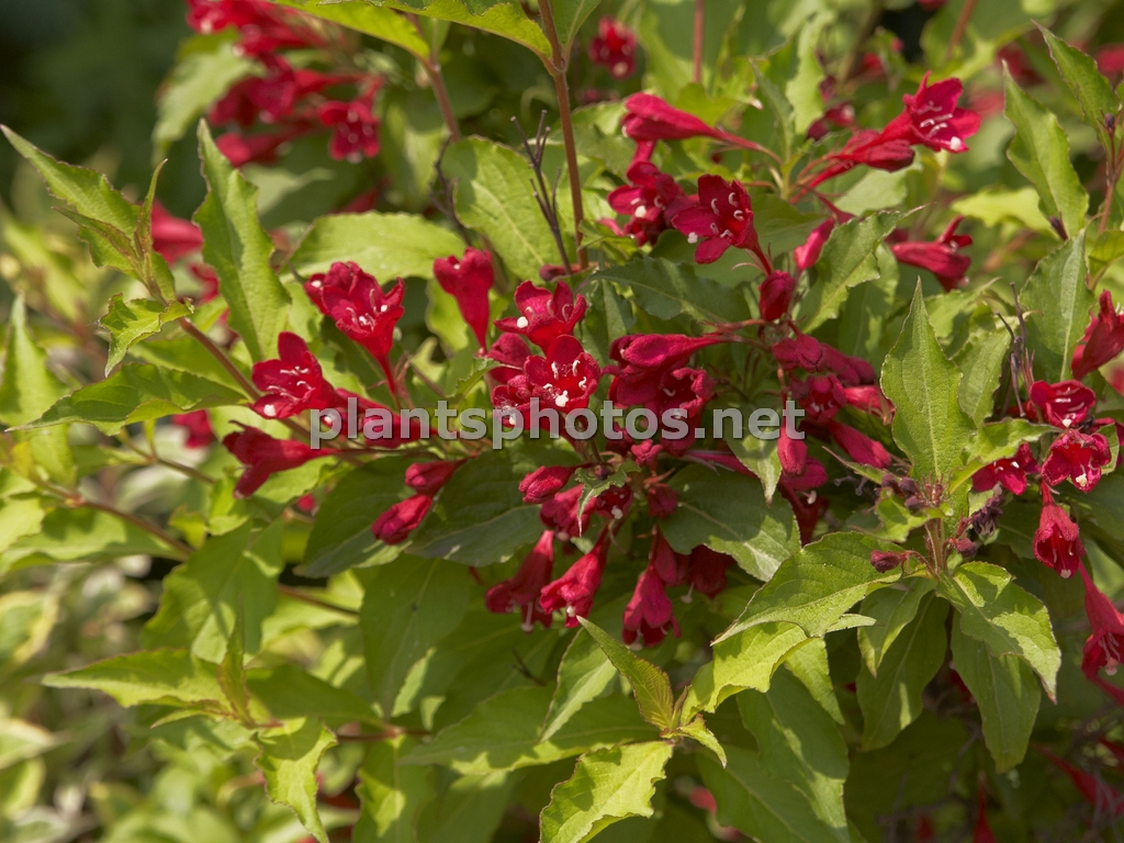 Weigela Red Prince &polska
