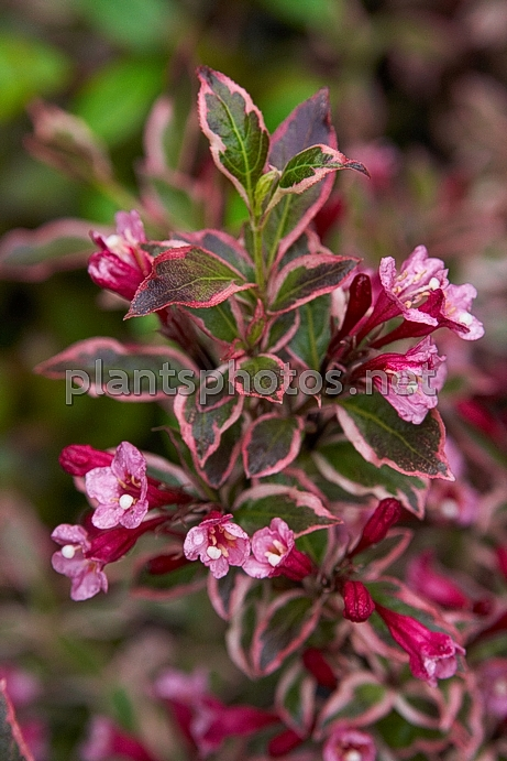 Weigela florida Monet IMG_6810 &polska