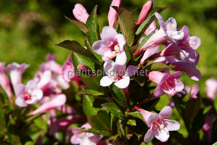 Weigela florida Piccolo IMG_4484 &polska