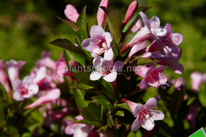 Weigela florida Piccolo IMG_4485 &polska
