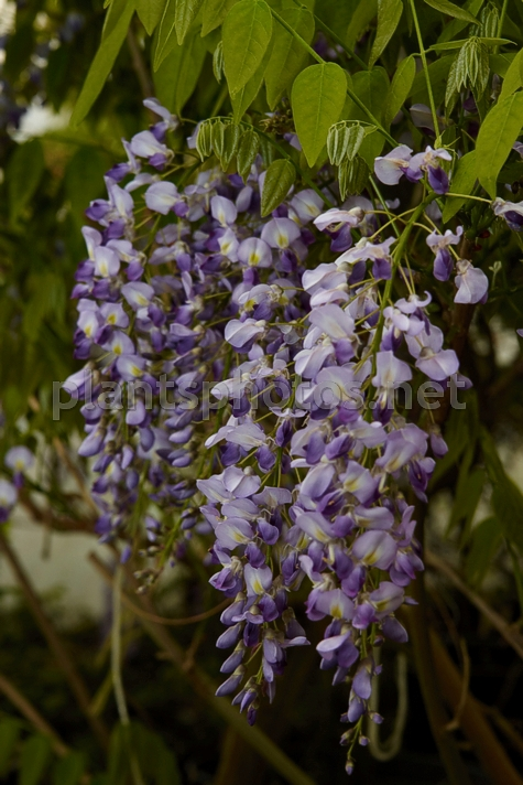 Wisteria floribunda Purple Patches IMG_3712_1 &polska